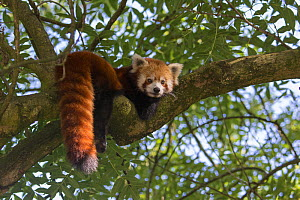 Red panda (Ailurus fulgens) resting in tree, captive, native to the Himalayas.  -  Edwin  Giesbers