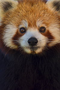 Red panda (Ailurus fulgens), captive, native to the Himalayas.  -  Edwin  Giesbers