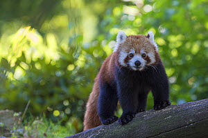Red panda (Ailurus fulgens) in a tree, captive, native to the Himalayas.  -  Edwin  Giesbers