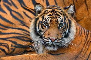 Sumatran tiger (Panthera tigris sumatrae), captive, occurs in Sumatra, Indonesia  -  Edwin  Giesbers