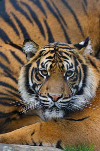 Sumatran tiger (Panthera tigris sumatrae), captive, native to Sumatra, Indonesia  -  Edwin  Giesbers