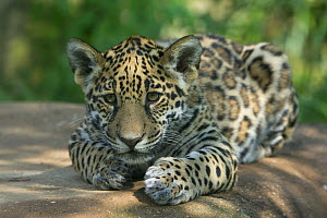 Jaguar (Panthera onca) cub, aged five months, captive, native to Southern and Central America.  -  Edwin  Giesbers