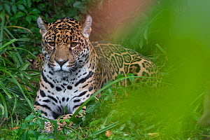 Female Jaguar (Panthera onca), captive, native to Southern and Central America.  -  Edwin  Giesbers