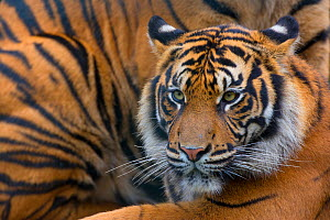 Sumatran tiger (Panthera tigris sumatrae), captive, occurs in Sumatra, Indonesia.  -  Edwin  Giesbers