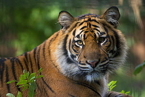Sumatran tiger (Panthera tigris sumatrae), captive, native to Sumatra, Indonesia.  -  Edwin  Giesbers