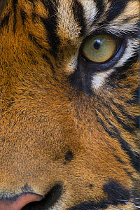 Close-up of an eye of a Sumatran tiger (Panthera tigris sumatrae), captive, native to Sumatra, Indonesia.  -  Edwin  Giesbers