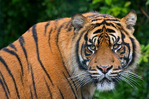 RF- Sumatran tiger (Panthera tigris sumatrae) captive, occurs in Sumatra, Indonesia. (This image may be licensed either as rights managed or royalty free.)  -  Edwin  Giesbers