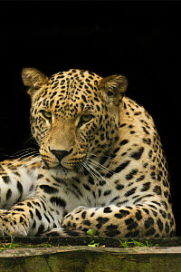 Female Persian leopard (Panthera pardus saxicolor), captive, native to the Caucasus, Turkmenistan and Afghanistan.  -  Edwin  Giesbers
