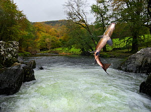 Salmon / Trout fish (Salmo sp) jumping a waterfall on the Afon Lledr, Betws Y Coed, Wales, October - Graham  Eaton