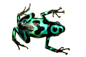 Green and Black Poison Frog (Dendrobates auratus) view of underside, Isla Pastores, Panama. Meetyourneighbours.net project  -  MYN / JP Lawrence