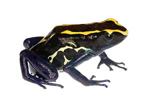 Dyeing Poison Frog (Dendrobates tinctorius) Petit Matoury, French Guiana. Meetyourneighbours.net project - MYN / JP Lawrence