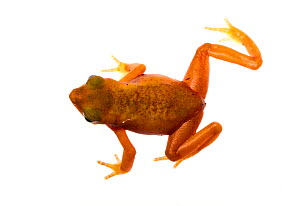 Cayenne Stub-Footed Toad (Atelopus flavescens) Matoury, French Guiana. Meetyourneighbours.net project. Vulnerable species. - MYN / JP Lawrence