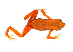 Cayenne Stub-Footed Toad (Atelopus flavescens) Matoury, French Guiana. Meetyourneighbours.net project - MYN / JP Lawrence
