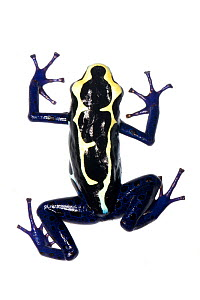Dyeing Poison Frog (Dendrobates tinctorius) Grand Matoury, French Guiana. Meetyourneighbours.net project - MYN / JP Lawrence