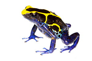 Dyeing Poison Frog (Dendrobates tinctorius) the Kaw Mountains, French Guiana. Meetyourneighbours.net project - MYN / JP Lawrence