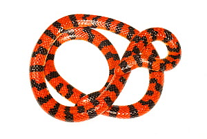 False Coral Snake (Anilius scytale) the Kaw Mountains, French Guiana. Meetyourneighbours.net project  -  MYN / JP Lawrence