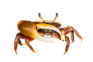 Unidentified Fiddler Crab (Uca sp.) Isla Colon, Panama. Meetyourneighbours.net project  -  MYN / JP Lawrence