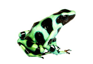Green and Black Poison Frog (Dendrobates auratus) Dolphin Bay, Panama. Meetyourneighbours.net project  -  MYN / JP Lawrence