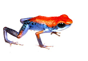 Strawberry Poison Frog (Oophaga pumilio) one of many colour morphs, Escudo de Veraguas, Panama. Meetyourneighbours.net project  -  MYN / JP Lawrence