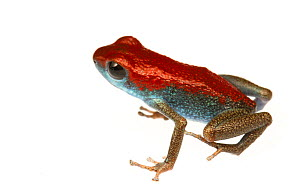 Strawberry Poison Frog (Oophaga pumilio) one of many colour morphs, the Valiente Peninsula, Panama. Meetyourneighbours.net project  -  MYN / JP Lawrence
