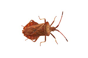 Shield bug (Coreus marginatus) Barnt Green, Worcestershire, UK, June. Meetyourneighbours.net project  -  MYN / Tim Hunt