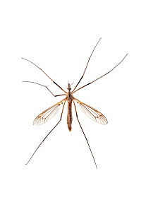 Cranefly (Tipula paludosa) Barnt Green, Worcestershire, UK, June. Meetyourneighbours.net project - MYN / Tim Hunt
