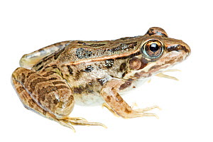 Rio Grande Leopard Frog (Lithobates berlandieri) profile, Sabal Palm Sanctuary, Cameron County, Lower Rio Grande Valley, Texas, United States of America, North America, September. Meetyourneighbours.n...  -  MYN  / Seth Patterson