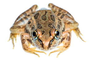 Rio Grande Leopard Frog (Lithobates berlandieri) portrait, Sabal Palm Sanctuary, Cameron County, Lower Rio Grande Valley, Texas, United States of America, North America, September. Meetyourneighbours....  -  MYN  / Seth Patterson