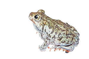 Plains Spadefoot Toad (Spea bombifrons) male profile, Hidalgo County, Lower Rio Grande Valley, Texas, United States of America, North America, September. Meetyourneighbours.net project  -  MYN  / Seth Patterson