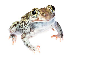 Plains Spadefoot Toad (Spea bombifrons) male portrait, Hidalgo County, Lower Rio Grande Valley, Texas, United States of America, North America, September. Meetyourneighbours.net project  -  MYN  / Seth Patterson