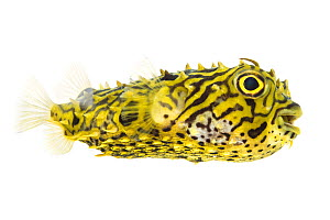 Striped Burrfish (Chilomycterus schoepfi) profile, Lower Laguna Madre, South Padre Island, Cameron County, Lower Rio Grande Valley, Texas, United States of America, North America, May. Meetyourneighbo...  -  MYN  / Seth Patterson