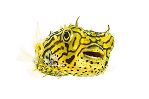Striped Burrfish (Chilomycterus schoepfi) portrait, Lower Laguna Madre, South Padre Island, Cameron County, Lower Rio Grande Valley, Texas, United States of America, North America, May. Meetyourneighb...  -  MYN  / Seth Patterson
