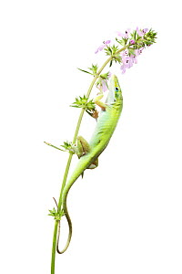 Green Anole (Anolis carolinensis) on Pink Mint (Stachys drummondii) profile, Sabal Palm Sanctuary, Cameron County, Lower Rio Grande Valley, Texas, United States of America, North America, March. Meety...  -  MYN  / Seth Patterson
