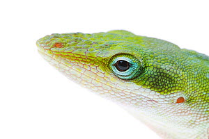 Green Anole (Anolis carolinensis) showing side view of head, Sabal Palm Sanctuary, Cameron County, Lower Rio Grande Valley, Texas, United States of America, North America, March. Meetyourneighbours.ne...  -  MYN  / Seth Patterson