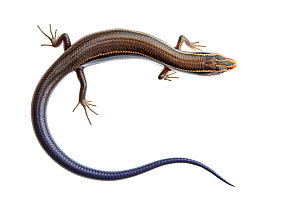 Four-lined Skink (Eumeces tetragrammus) juvenile viewed from above, Sabal Palm Sanctuary, Cameron County, Lower Rio Grande Valley, Texas, United States of America, North America, March. Meetyourneighb...  -  MYN  / Seth Patterson