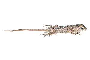 Texas Spiny Lizard (Sceloporus olivaceus) juvenile profile, Sabal Palm Sanctuary, Cameron County, Lower Rio Grande Valley, Texas, United States of America, North America, July. Meetyourneighbours.net...  -  MYN  / Seth Patterson