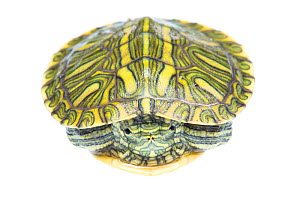 Red-eared Slider (Trachemys scripta elegans) juvenile portrait, Sabal Palm Sanctuary, Cameron County, Lower Rio Grande Valley, Texas, United States of America, North America, September. Meetyourneighb...  -  MYN  / Seth Patterson