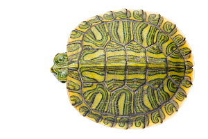Red-eared Slider (Trachemys scripta elegans) juvenile viewed from above, Sabal Palm Sanctuary, Cameron County, Lower Rio Grande Valley, Texas, United States of America, North America, September. Meety...  -  MYN  / Seth Patterson