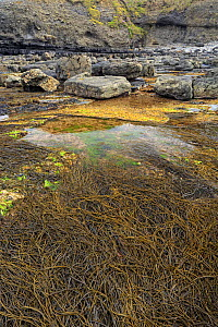 Rock pools and Thong Weed (Himanthalia elongata) during spring tide, Ross, County Clare, Ireland, May 2013. Meetyourneighbours.net project  -  MYN  / Carsten Krieger