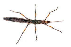 Spiny stick insect (Creoxylus spinosus) Iwokrama, Guyana. Meetyourneighbours.net project  -  MYN / Andrew Snyder
