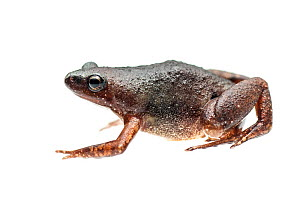 Microhylid frog (Chiasmocleis sp) Kanuku Mountains, Guyana. Meetyourneighbours.net project - MYN / Andrew Snyder