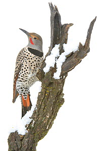 Northern flicker (Colaptes auratus) Arroyo Seco, New Mexico, USA, November. Meetyourneighbours.net project  -  MYN / Juanjo Segura