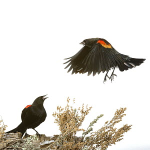 Red-winged Blackbird (Agelaius phoeniceus) calling to another in flight, Arroyo Seco, New Mexico, USA, December. Meetyourneighbours.net project  -  MYN / Juanjo Segura