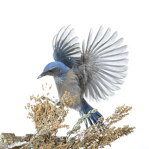 Western Scrub-jay (Aphelocoma californica) landing, Arroyo Seco, New Mexico, USA, December. Meetyourneighbours.net project  -  MYN / Juanjo Segura