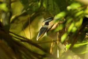 Boat-billed Heron (Cochlearius cochlearius) next to Anangu lagoon in Yasuni National Park, Orellana Province, Ecuador, July.  -  Tim  Laman