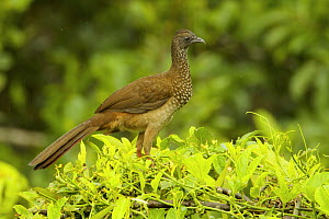 Speckled Chachalaca (Ortalis guttata) at Napo Wildlife Center, Yasuni National Park, Orellana Province, Ecuador, July.  -  Tim  Laman