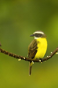 Social Flycatcher (Myiozetetes similis) at Napo Wildlife Center, Yasuni National Park, Orellana Province, Ecuador, July. - Tim  Laman