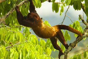 Red Howler Monkey (Alouatta seniculus) climbing through tree near the canopy tower at the Tiputini Biodiversity Station, Orellana Province, Ecuador, July.  -  Tim  Laman