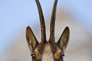 Apennine chamois (Rupicapra pyrenaica ornata) adult female close up of head and horns. Endemic to the Apennine mountains. Abruzzo, Italy, November. - Bruno D'Amicis