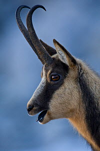 Apennine chamois (Rupicapra pyrenaica ornata) adult male portrait. Endemic to the Apennine mountains. Abruzzo, Italy, November.  -  Bruno D'Amicis